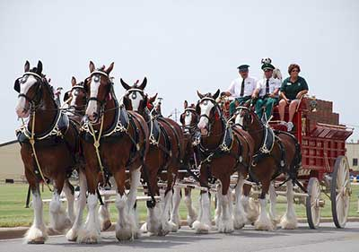 Clydesdale horses iconically represent Budweiser