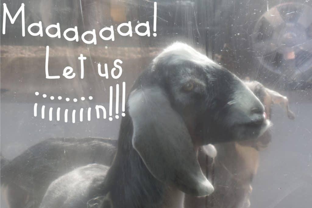 Mar's goats